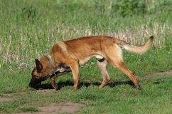 Dog - Belgian Malinois. The Malinois or Belgian Malinois, it is used as a working dog for tasks including detection of odors such as explosives, accelerants for Stock Image