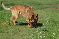Dog - Belgian Malinois. The Malinois or Belgian Malinois, it is used as a working dog for tasks including detection of odors such as explosives, accelerants for Royalty Free Stock Photos