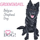 Dog Belgian Shepherd Dog, Groenendael  breed Royalty Free Stock Image