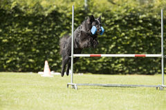 Dog, Belgian Shepherd Groenendael, obedience jumping with dumbbe. Ll Stock Photos