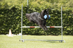 Dog, Belgian Shepherd Groenendael, obedience jumping with dumbbe. Dog, Belgian Shepherd Groenendael, obedience jump with dumbbell Stock Photos