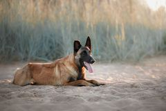 Dog Malinois lies on the sand Stock Photography