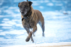 Dog, Belgian Shepherd Malinois, coming out of a swimming pool. Dogm Belgian Shepherd Malinois, coming out of a swimming pool, blue water Royalty Free Stock Photography