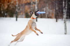 Dog jumping and catching a flying disc in mid-air. Dog Belgian Shepherd Malinois jumping and catching a flying disc in mid-air Stock Photos