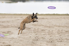 Dog, Belgian Shepherd Malinois, jumping for frisbee. In sand Stock Photography