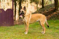 Dog, Belgian Shepherd in portrait. A standing dog in grass, a Belgian shepherd Malinois Stock Photography