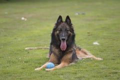 Dog, Belgian Shepherd Tervueren, lying. Dog, Belgian Shepherd Tervuren, lying in the grass stock photo