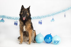 Dog, Belgian Shepherd Tervuren with blue baby boy balloons and garlands Stock Photo
