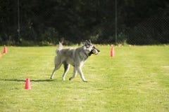 Dog, Belgian Shepherd Tervuren, fetching dumbbell Stock Photos