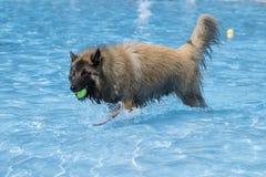 Dog, Belgian Shepherd Tervuren, fetching tennis ball in swimming Stock Image