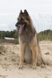 Dog, Belgian shepherd Tervuren, looking out over dunes Royalty Free Stock Photo