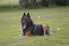 Dog, Belgian Shepherd Tervuren, lying in grass Stock Image