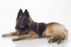 Dog, Belgian Shepherd Tervuren, lying, isolated Stock Images