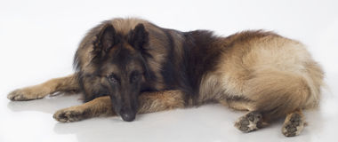 Dog, Belgian Shepherd Tervuren, lying, isolated. On white background Royalty Free Stock Images