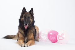 Dog, Belgian shepherd, Tervuren, with pink balloons for a baby girl Stock Photos