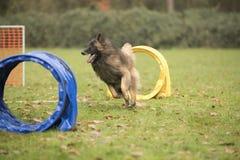 Dog, Belgian Shepherd Tervuren, running in hooper competition Stock Images