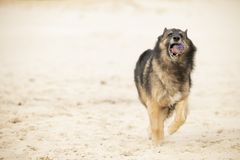 Dog, Belgian Shepherd Tervuren, running with ball in sand royalty free stock photos