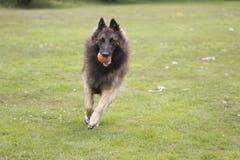 Dog, Belgian Shepherd Tervuren, running in grass Royalty Free Stock Photo