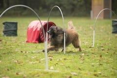 Dog,Belgian Shepherd Tervuren, running in hooper competition Royalty Free Stock Photography
