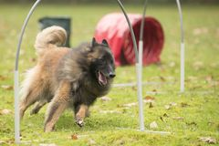 Dog,Belgian Shepherd Tervuren, running in hooper competition. Dog,Belgian Shepherd Tervuren, running in agility competition Royalty Free Stock Images