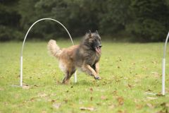 Dog, Belgian Shepherd Tervuren, running in hooper competition. Dog, Belgian Shepherd Tervuren, running in agility competition Royalty Free Stock Photos