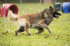 Dog, Belgian Shepherd Tervuren, running in hooper competition. Dog, Belgian Shepherd Tervuren, running in agility competition Royalty Free Stock Image