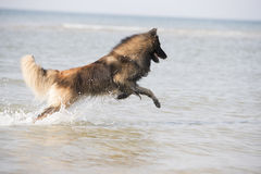 Dog, Belgian Shepherd Tervuren, running in the ocean Stock Image