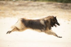 Dog, Belgian Shepherd Tervuren, running in sand royalty free stock photography