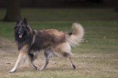 Dog, Belgian Shepherd Tervuren, running Stock Photos