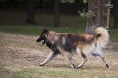 Dog, Belgian Shepherd Tervuren, running Royalty Free Stock Images