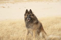 Dog, Belgian Shepherd Tervuren, sitting in heather grass stock image