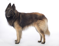 Free Dog, Belgian Shepherd Tervuren, Standing On White Studio Backgro Royalty Free Stock Photos - 97690628