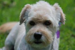 Dog Benji Stock Photos