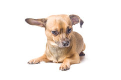 Dog with a bent ear. Confused dog with a bent ear isolated over white stock images