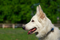 Dog Berger Blanc Suisse Royalty Free Stock Photo