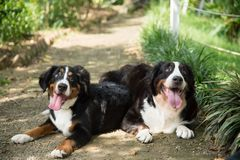 Dog, Bernese Mountain Dog, Dog Breed, Dog Like Mammal Royalty Free Stock Image