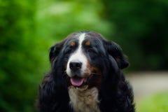 Dog, Bernese zennenhund portret. Royalty Free Stock Images