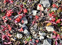 Dog Berries in Chugach National Forest. Tiny red leaves and berries amongst the foliage that is growing on the ground in Chugach National Forest along a hiking royalty free stock image