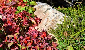 Dog Berries in Chugach National Forest. Tiny red leaves and berries amongst the foliage that is growing on the ground in Chugach National Forest along a hiking stock photography