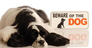 Dog with beware of dog sign. Cute american cocker spaniel with beware of dog sign royalty free stock photo