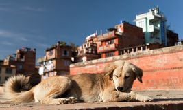 Dog in Bhaktapur city. Asian cities is full of wild dogs Stock Image