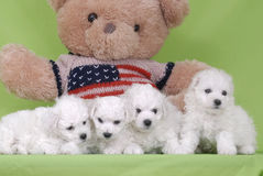 Dog Bichon. And Green background Royalty Free Stock Photos