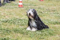 Drover adult outdoors - belgium. Dog bichon adult outdoors - belgium Stock Images