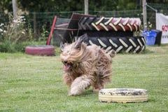 Drover adult outdoors - belgium. Dog bichon adult outdoors - belgium Royalty Free Stock Image