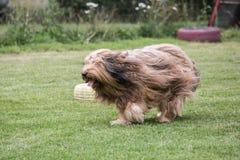 Drover adult outdoors - belgium. Dog bichon adult outdoors - belgium Stock Photo