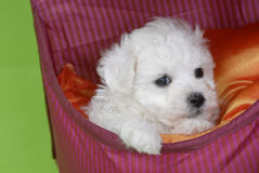 Dog Bichon baby Stock Photo