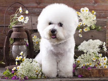 Dog Bichon Frise Royalty Free Stock Image