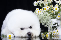 Dog Bichon Frise Royalty Free Stock Photography