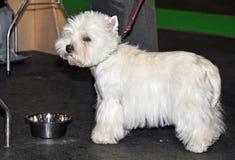Dog Bichon Frise drinking water Stock Images