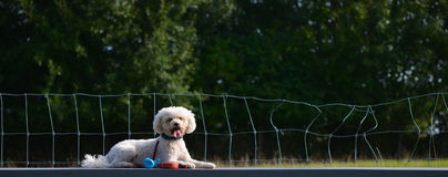 A dog, Bichon Frise, lies on the table Stock Images
